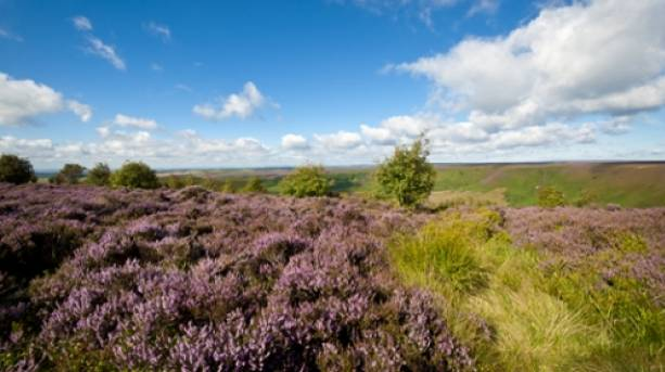 Heatherclad moorland in the North Yorkshire
