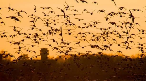 Birds take flight at Slimbridge