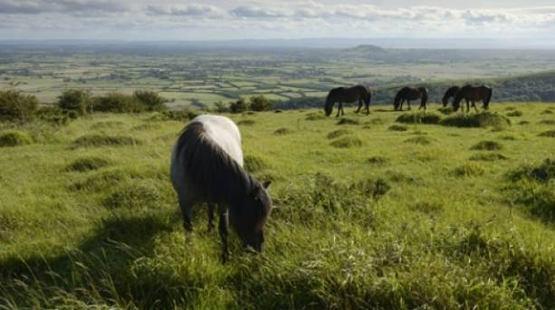 Ponies grazing on Somerset Levels