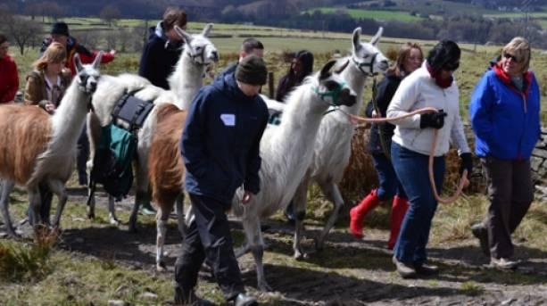 Walking with llamas at Wellbeing Farm