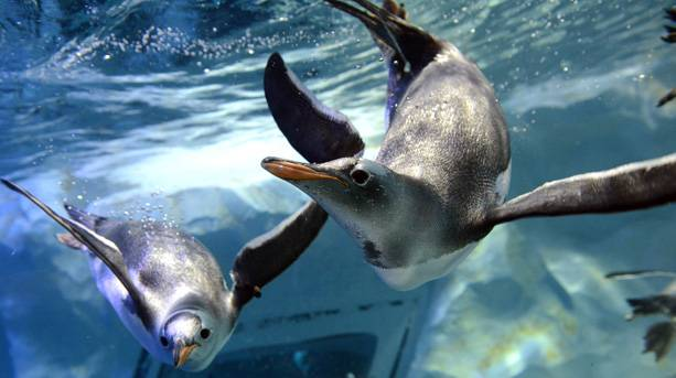 The Gentoo Penguins at The National SEA LIFE Centre