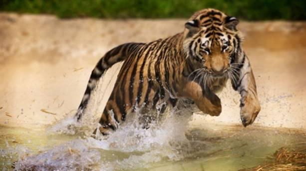 A tiger at  Port Lympne
