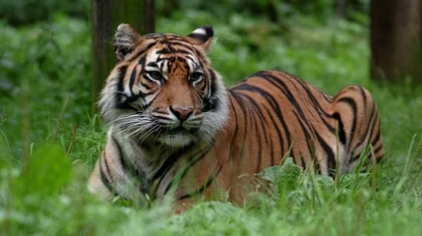 Get up close to Asian tigers at Thrigby Hall Wildlife Gardens