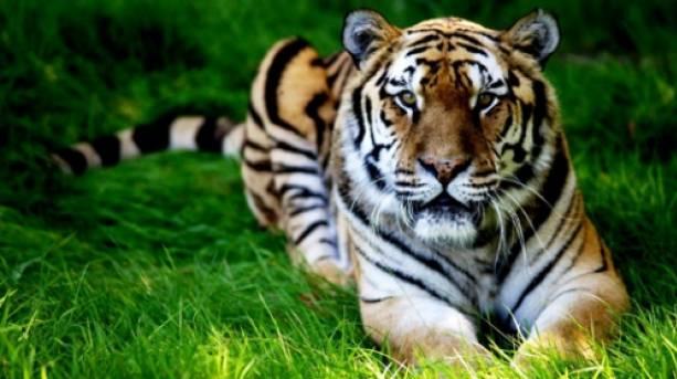 Tiger at Woburn Safari Park