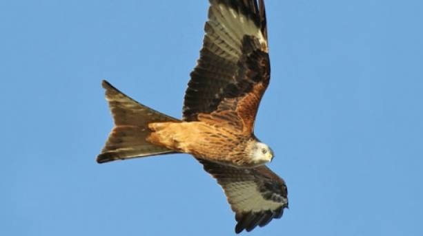 Red kites at Londesborough