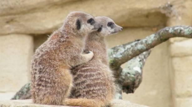 Meerkats cuddle