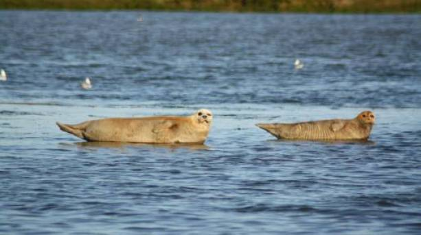 Common seal with cub