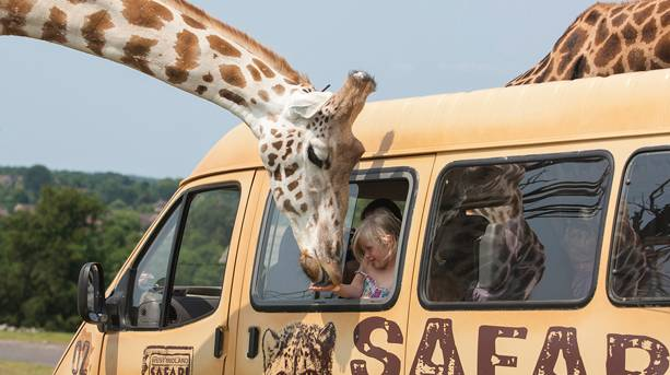 West Midland Safari Park Summer Nights Giraffes