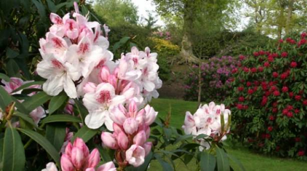 Enjoy the mass of colours on display at Bowood's rhododendron garden