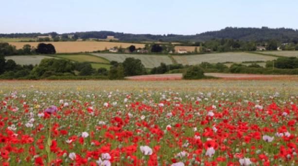 Beautiful poppy fields near Tisbury