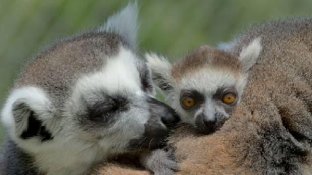 Meet the lemurs at Longleat