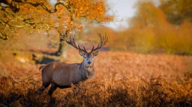Deer at Woburn Abbey