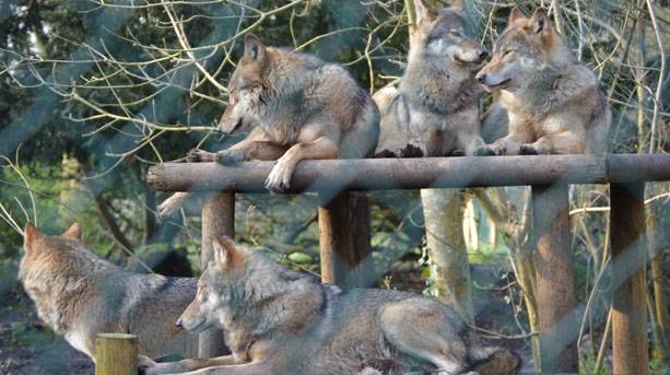 Wolves at Wild Place Project