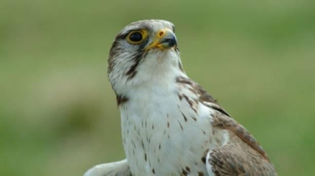 A falconry display