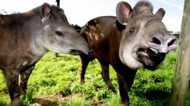 Tapirs at Bristol Zoo Gardens