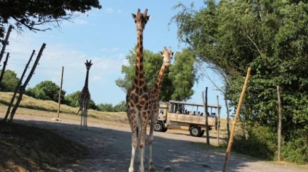 A giraffe at Chessington World of Adventures