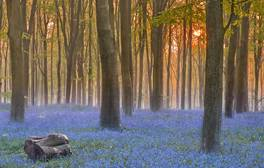 See carpets of bluebells in Wiltshire's woodlands