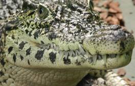 Discover the UK's only crocodile zoo