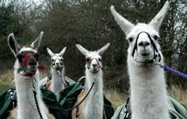 Feel calmer whilst walking a llama