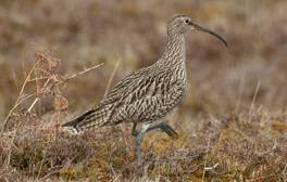 Hear the call of the curlew