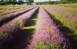 Enjoy relaxing walks in Wolds Way Lavender and Herb Farm