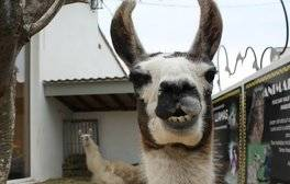 Walk on the wild side with Llamas at Llama Karma Kafe
