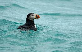 Uncover The Isles of Scilly Seabird Recovery Project