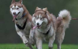 Trek across the North York Moors with a team of huskies