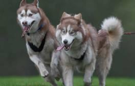 Trek across the North York Moors with a team of huskies