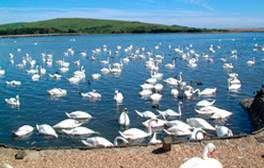 Get up close with swans