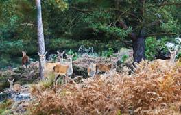 Get close to the deer at the Red Deer rut