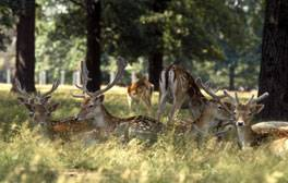 See spectacular deer in Richmond Park