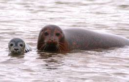 Seal watching in Arthur Ransome's 'Secret Water'