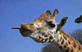Explore the UK's first safari park, Longleat
