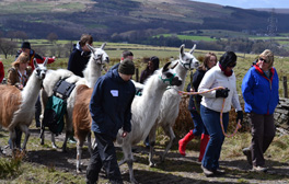 Take time out and relax with a Llama at Wellbeing Farm