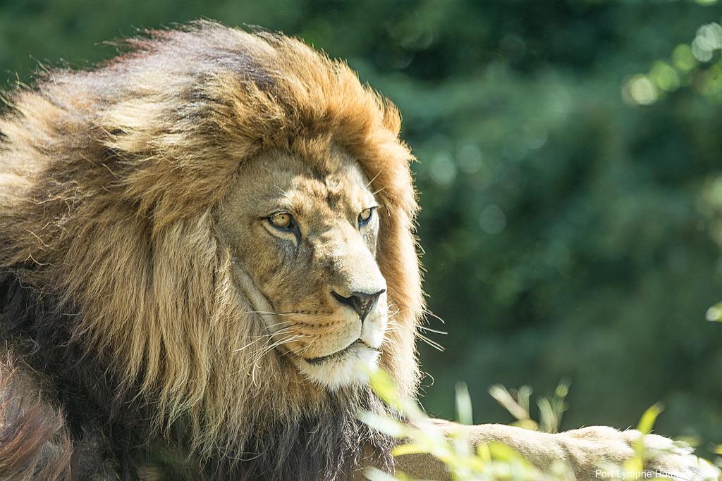 Lion at Port Lympne Hotel Reserve in Kent