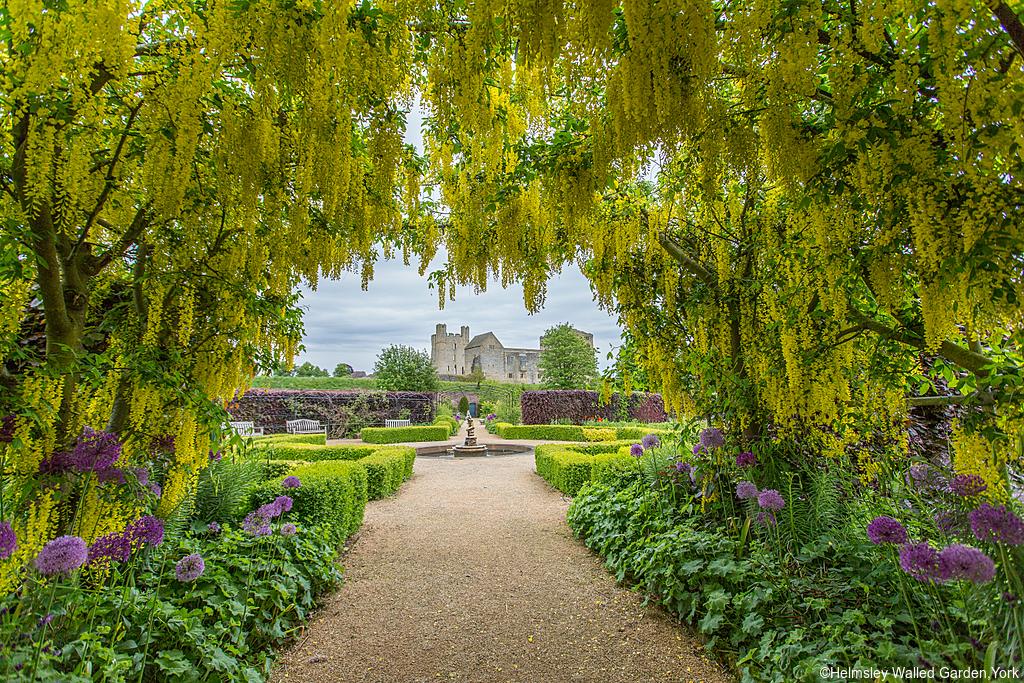 Helmsley Walled Garden,York. Hanging laburnum flower and castle in Spring.
