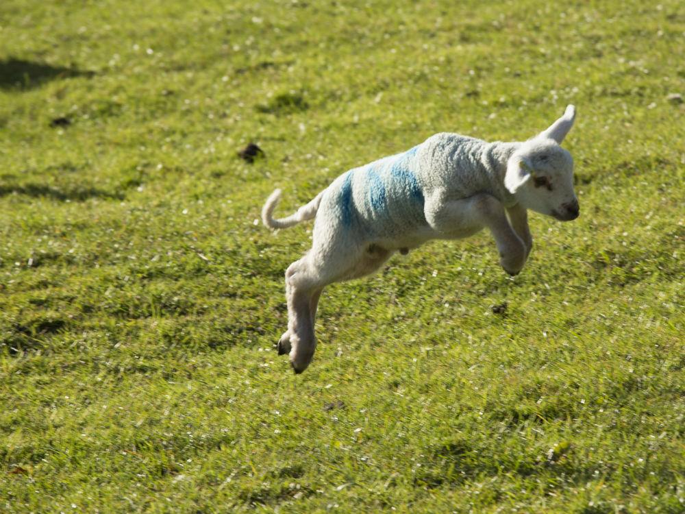 Lambs in Peak District