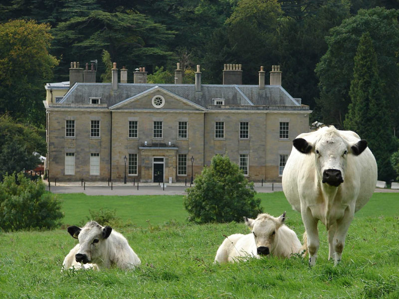 Elegant cows grazing outside Stanmer House near Brighton