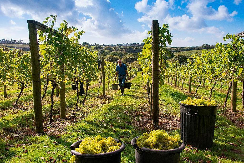 Bosue Vineyard, Saint Austell, Cornwall