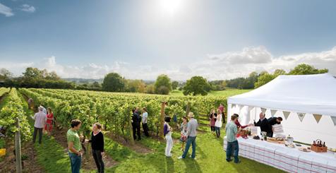 The vineyard at ChapelDown, Tenterden, Kent
