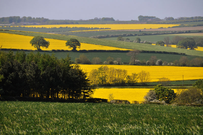 Yellow and green fields in the Yorkshire Wolds