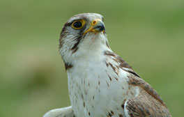 Watch Falcons in flight at the Yorkshire Dales Falconry Centre